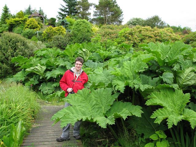 Gunnera manicata. Glenwhan Water Garden. Gallow.