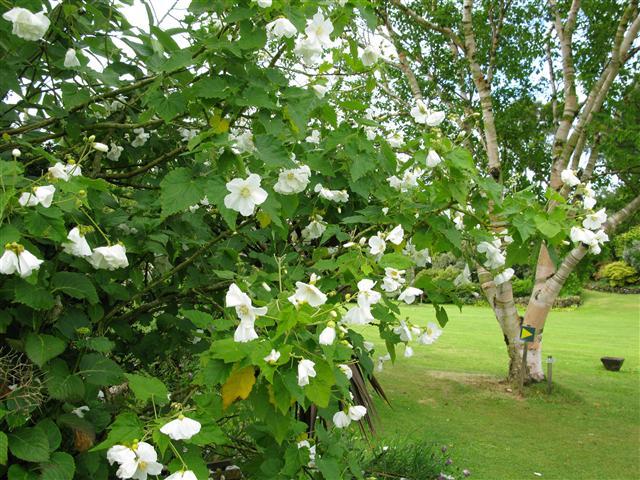 Hoheria lyalli. Glenwhan Water Garden.