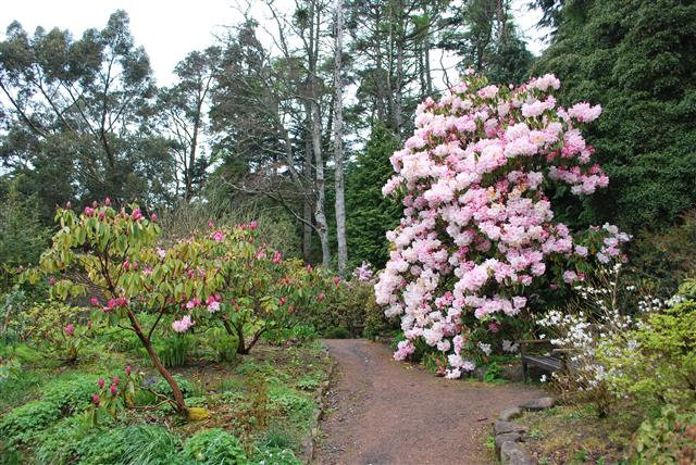 Inverewe spectacular for Rhododendrons.